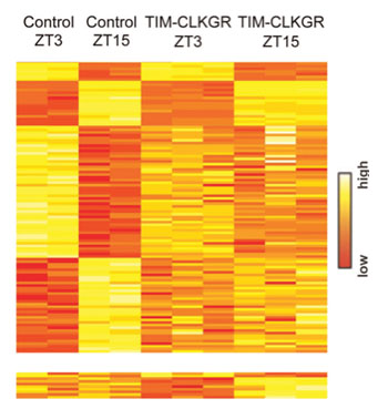 Image: Heat plots for microarray transcriptome experiment, of the genetically engineered Drosophila flies, indicating that the reduced amplitudes of the CLK-protein-driven circadian transcription oscillations (CTOs) leads to genome-wide reductions in CTO amplitudes, not only of the direct CLK-driven transcripts (Photo courtesy of Prof. Kadener, Hebrew University - Jerusalem, Israel, and PLOS Genetics).
