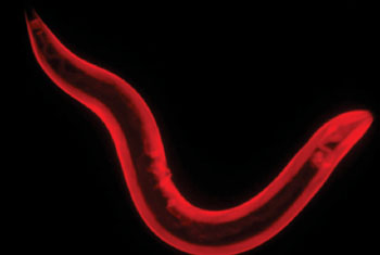 Image: Caenorhabditis elegans nematode (roundworm) (Photo courtesy of McGill University).