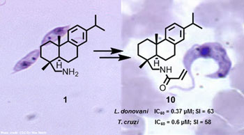 Image: A small library of abietane-type diterpenoids amides was prepared from the plant-based dehydroabietylamine (left (1)) as a starting material, and the compounds evaluated for activity against Leishmania donovani and Trypanosoma cruzi. One compound (right (10)), an amide built from dehydroabietylamine and acrylic acid, was found to be highly effective against both parasites (Photo courtesy of Pirttimaa M et al., 2016, Journal of Natural Products).