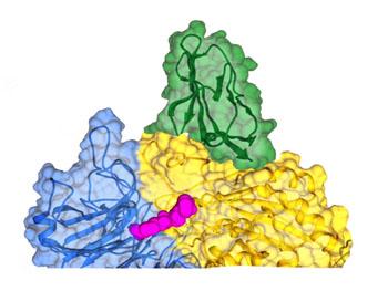Image: ProAgio (green) binding to integrin v3 (Photo courtesy of Georgia State University).