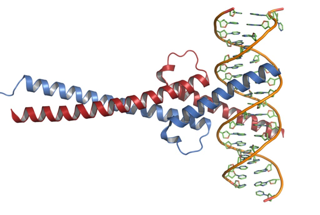Image: The crystal structure of the Myc protein in complex with DNA (Photo courtesy of Wikimedia Commons).