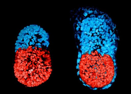 Image: A photomicrograph showing stem cell-modeled mouse embryo at 96 hours (left); Mouse embryo cultured in vitro for 48 hours from the blastocyst stage (right). The red part is embryonic and the blue extra-embryonic (Photo courtesy of Sarah Harrison and Gaelle Recher, Zernicka-Goetz Laboratory, University of Cambridge).
