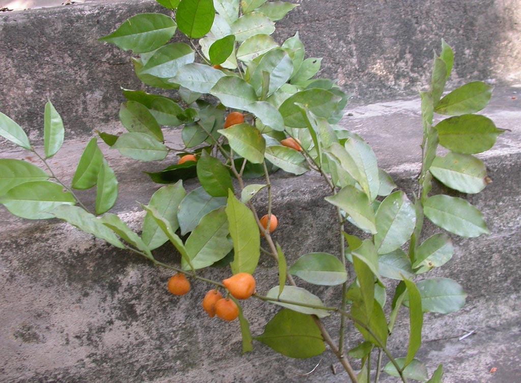 Image: The medicinal shrub Carpolobia lutea (Photo courtesy of Shutterstock).