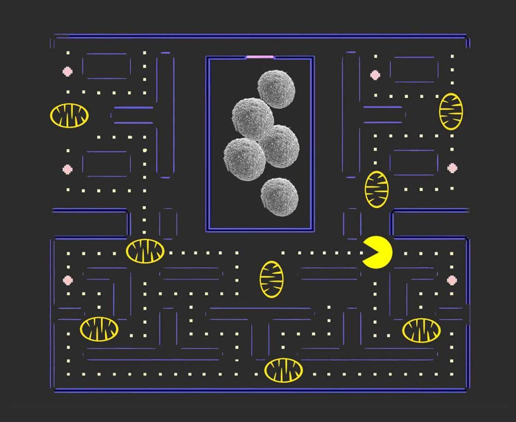 """Image: If mitophagy or Pac Man eats all the cell\'s mitochondria, then the \""""seeds of cancer\"""" (stem cells) will be able to grow unhindered and develop more malignant tumors (Photo courtesy of the University of Southern California, Keck School of Medicine / Linya Wang)."""