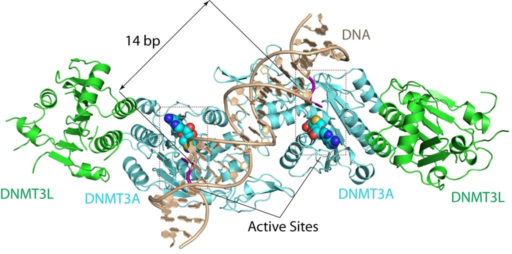 Image: The DNMT3A-DNA complex. The structure reveals that DNMT3A molecules attack two substrate sites adjacent to each other on the same DNA molecule. DNMT3L (green) is a regulatory protein of DNMT3A (Photo courtesy of the Song Laboratory, University of California, Riverside).