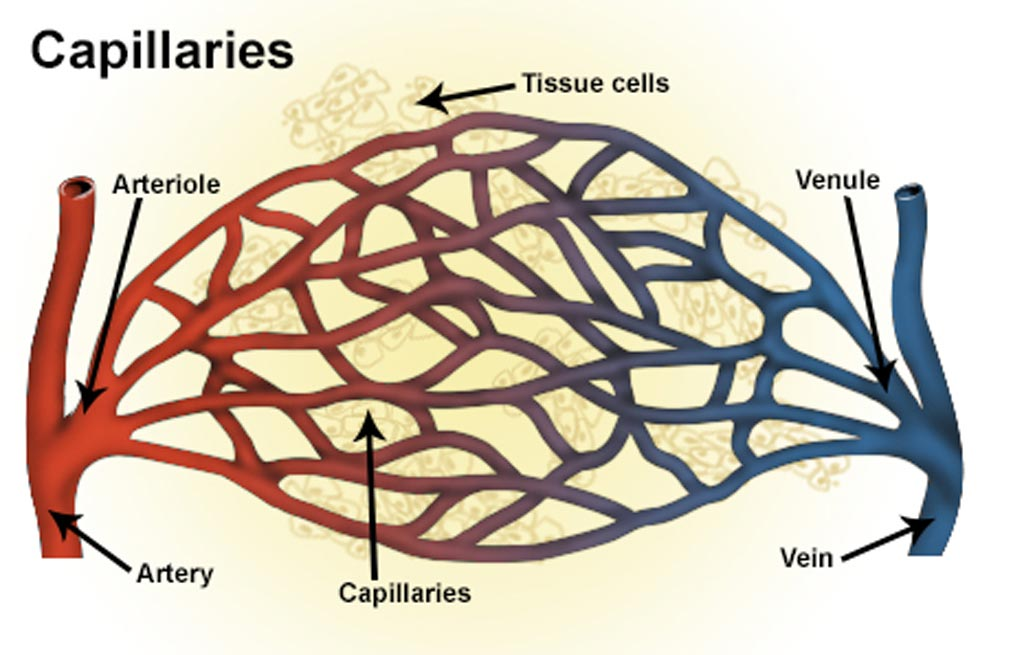 Image: An illustration of blood vessels including artery, arteriole, capillaries, vein and venule (Photo courtesy of the [U.S.] National Cancer Institute).