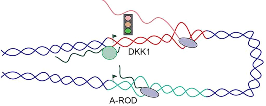 Image: The long non-coding RNA called A-ROD is only functional the moment it is released from chromatin into the nucleoplasm. At this transient phase, it can bring transcription factors to specific sites in DNA to enhance gene expression. After its complete release from chromatin, A-ROD is no longer active (Photo courtesy of Evgenia Ntini, Max Planck Institute for Molecular Genetics).