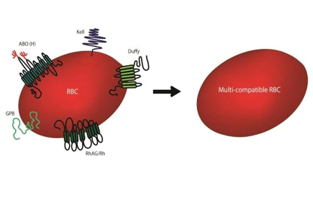 Image: Synthetic biologists have succeeded in generating laboratory-made red blood cells deficient in minor blood group antigens (Photo courtesy of Dr. Ashley Toye, University of Bristol).