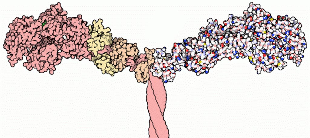 Image: Part of the Myosin II structure. Atoms in the heavy chain are colored pink (on the left-hand side); atoms in the light chains are colored faded-orange and faded-yellow (also on the left-hand side) (Photo courtesy of Wikimedia Commons).