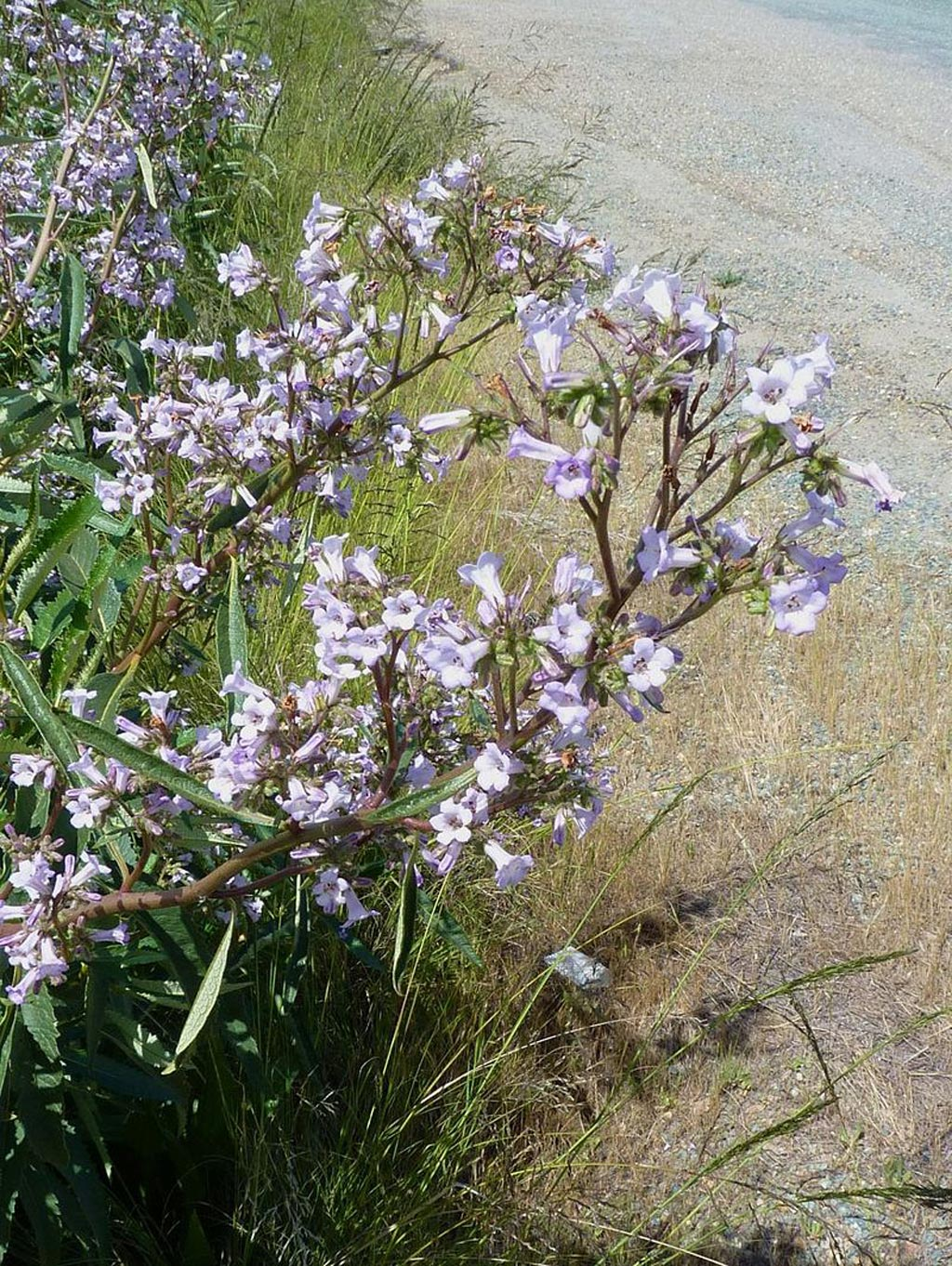 Image: Yerba Santa growing on roadside in California, USA (Photo courtesy of Wikimedia Commons).