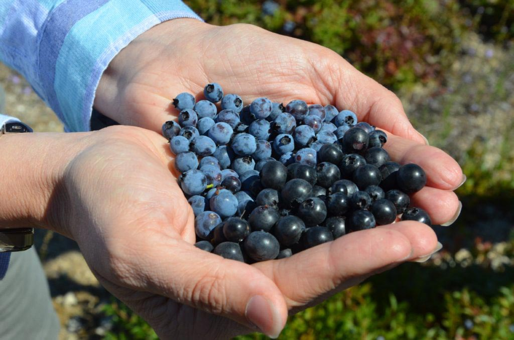 Image: Studies show eating blueberries every day could reduce risk of developing cardiovascular disease by up to 20% (Photo courtesy of iStock).