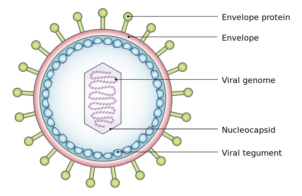 Image: A simplified diagram of the structure of Epstein-Barr virus (EBV) (Photo courtesy of Wikimedia Commons).
