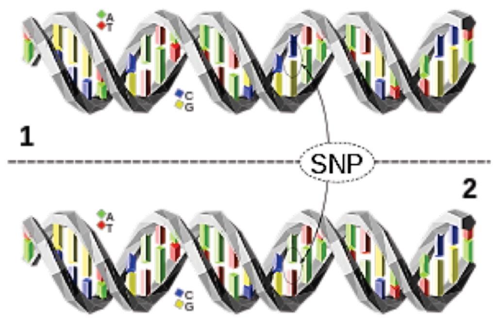 图片:单核苷酸多态性(SNP)是指DNA上一个碱基对位点的核苷酸改变。上图的DNA分子与下图的DNA分子在一个碱基对位点上不同(C/A多态性)(图片蒙David Eccles惠赐)。