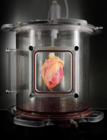 Imagen: Un andamio cardiaco de todo el corazón humano, parcialmente recelularizado, cultivado en un biorreactor (Fotografía cortesía del Centro para Medicina Regenerativa del MGH).