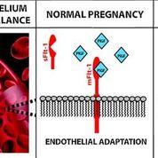 Imagen: El papel de sFlt-1 en la preeclampsia materna (Fotografía cortesía de Vassilis Tsatsaris).