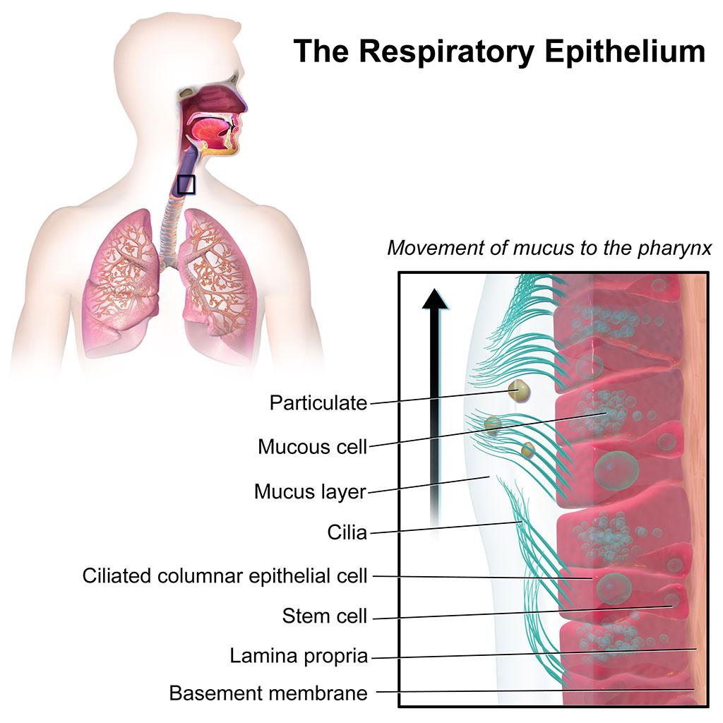 Imagen: El epitelio respiratorio (Fotografía cortesía de Wikimedia Commons)