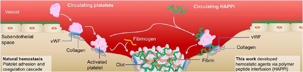 Imagen: El HAPPI circulante aumenta la formación de coágulos sanguíneos (Fotografía cortesía de la Universidad de Harvard)