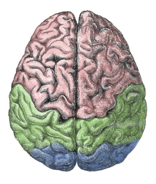 Imagen: Una ilustración de los lóbulos cerebrales del cerebro humano: el lóbulo frontal (rosa), el lóbulo parietal (verde) y el lóbulo occipital (azul) (Fotografía cortesía de Wikimedia).