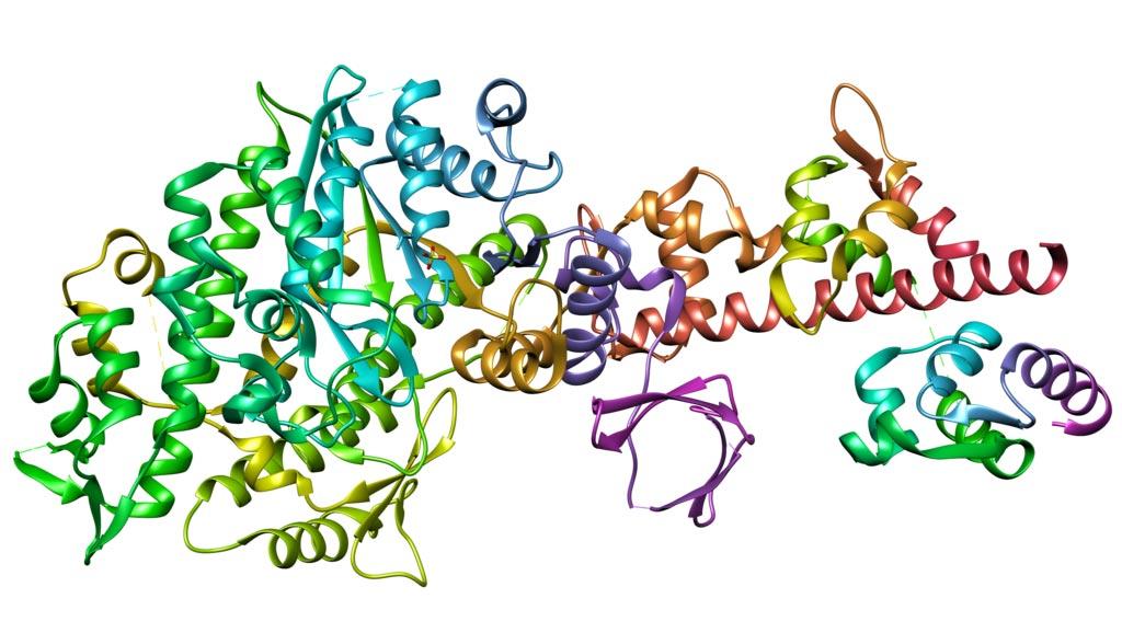 Imagen: Estructura cristalina de la miosina V libre de nucleótidos con la cadena liviana esencial (Fotografía cortesía de Wikimedia Commons).