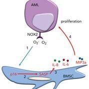 Imagen: Un diagrama de cómo el superóxido derivado la leucemia, NOX2, es un promotor de la senescencia protumoral dependiente de p16INK4a en las células estromales de la médula ósea (Fotografía cortesía de la Universidad de Anglia Oriental).