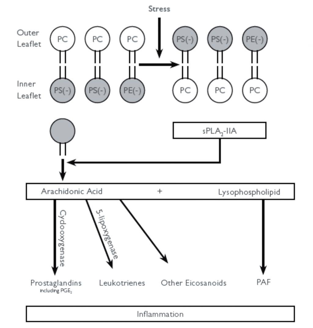 Imagen: El diagrama muestra cómo la unión de sPLA2-11A a los fosfolípidos aniónicos conduce a su activación y promueve la inflamación. La oxidación de los fosfolípidos produce estrés, haciendo que los fosfolípidos aniónicos, fosfatidilserina (PS) y fosfatidiletanolamina (PE) sean transportados a la lámina externa. Esta reacción activa el sPLA2-llA catiónico. La mayor actividad de sPLA2-11A promueve la hidrólisis de los fosfolípidos de la lámina externa en ácido araquidónico y lisofosfolípidos. A través de las enzimas ciclooxigenasa y 5-lipoxigenasa, el ácido araquidónico se convierte en prostaglandinas, leucotrienos y otros eicosanoides inflamatorios (Fotografía cortesía de Randox).