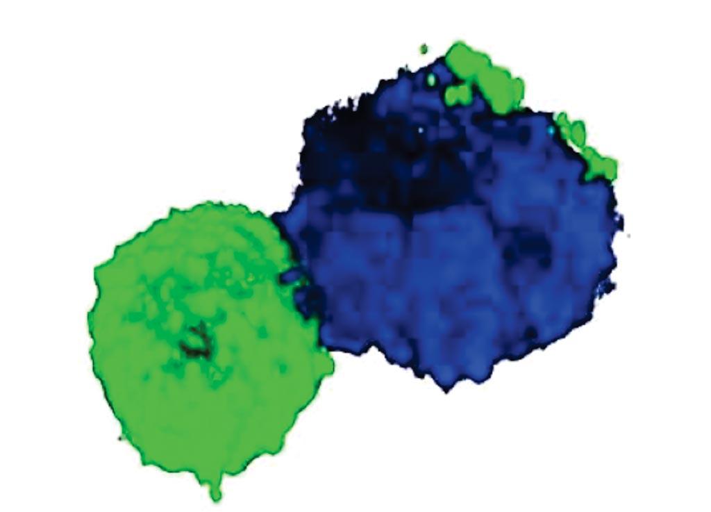 Una imagen reconstruida en 3D de un doblete de una célula T (CD3, verde) y un monocito (CD14) (Fotografía cortesía del Instituto de Inmunología de La Jolla).