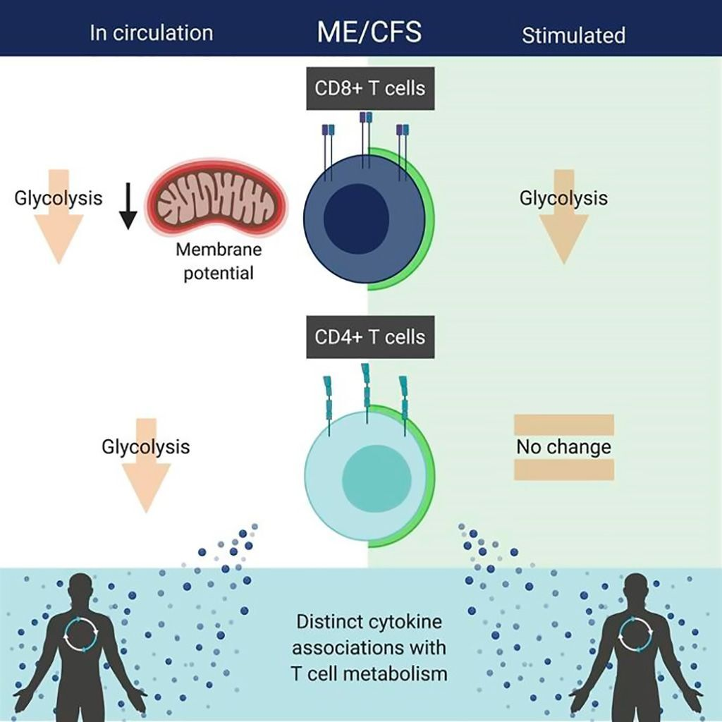 Imagen: Los pacientes con encefalomielitis miálgica/síndrome de fatiga crónica exhiben alteraciones en el metabolismo de las células T y asociaciones de las citoquinas (Fotografía cortesía de la Universidad de Cornell)