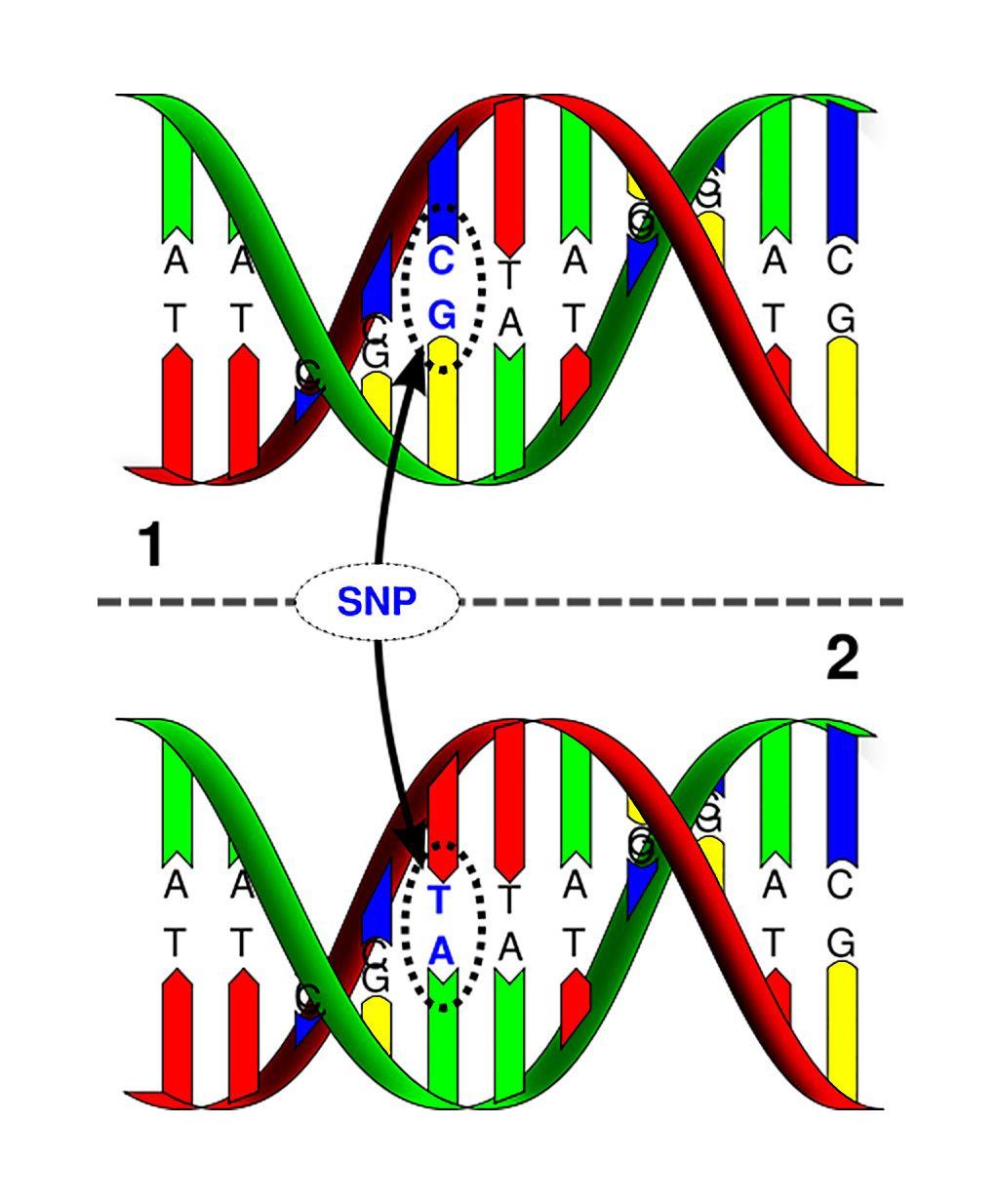 Imagen: Polimorfismo de nucleótido único: la molécula de ADN superior difiere de la molécula de ADN inferior en la ubicación de un solo par de bases (Fotografía cortesía de la Universidad Marshall).