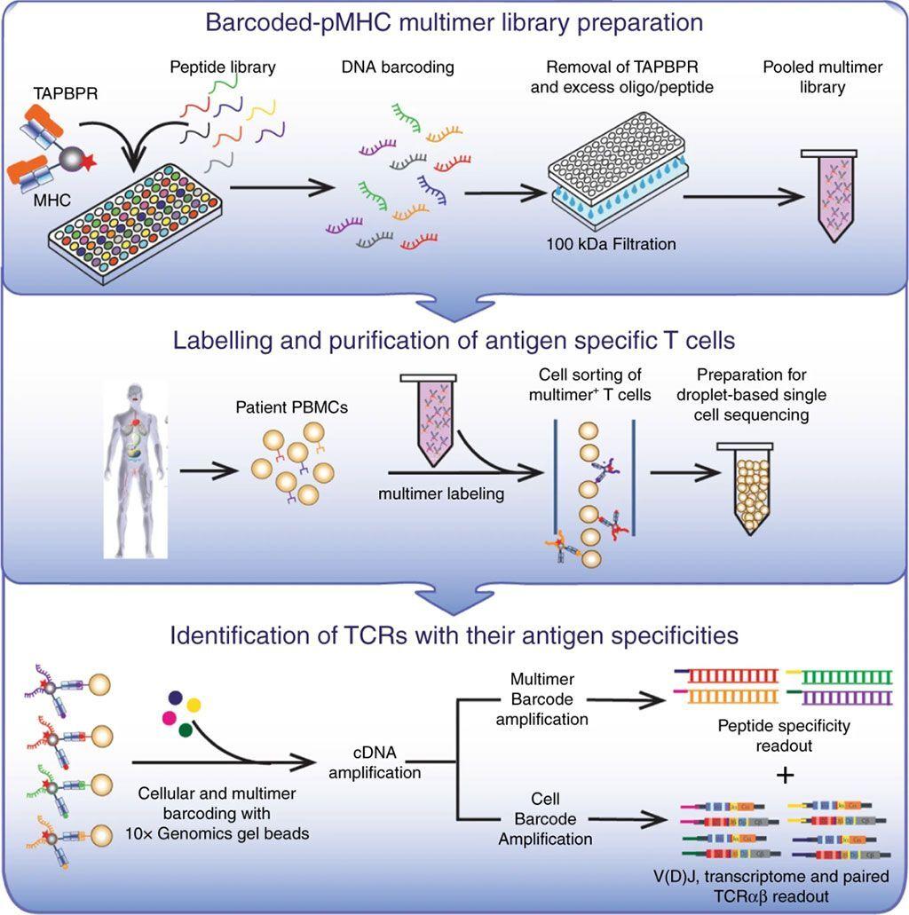Imagen: Asociando las especificidades de los péptidos con los transcriptomas de células T (Fotografía cortesía de la Universidad de California, Santa Cruz).