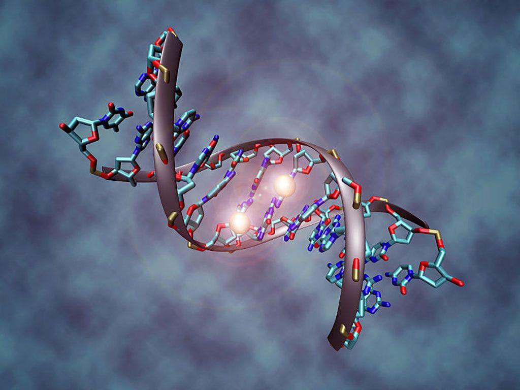Imagen: Esta imagen muestra una molécula de ADN que ha sido metilada en ambas cadenas en la citosina del centro. Las dos esferas blancas representan grupos metilo (Fotografía cortesía de Wikimedia Commons)