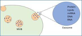 Imagen: Los exosomas son vesículas extracelulares de 30-150 nanómetros que contienen diversas cargas moleculares, como ARN y proteínas (Crédito: Wikimedia Commons)