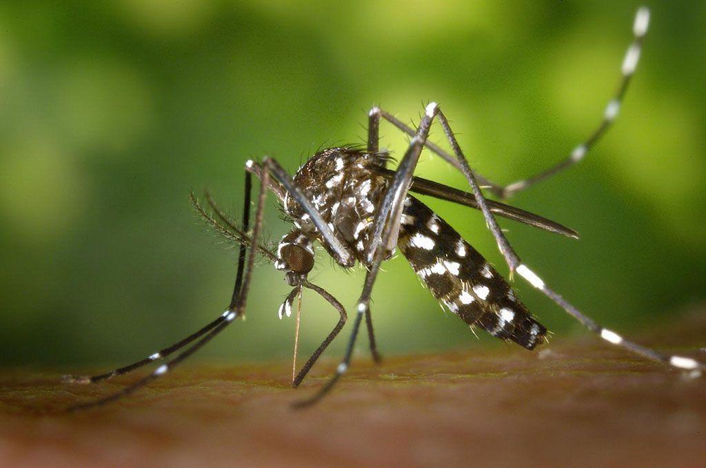 Imagen: El mosquito Aedes aegypti puede transmitir diversas enfermedades tropicales, como el dengue, el zika y el chikungunya, que tienen síntomas similares (Fotografía cortesía del Instituto de Ciencia y Tecnología de Gwangju)