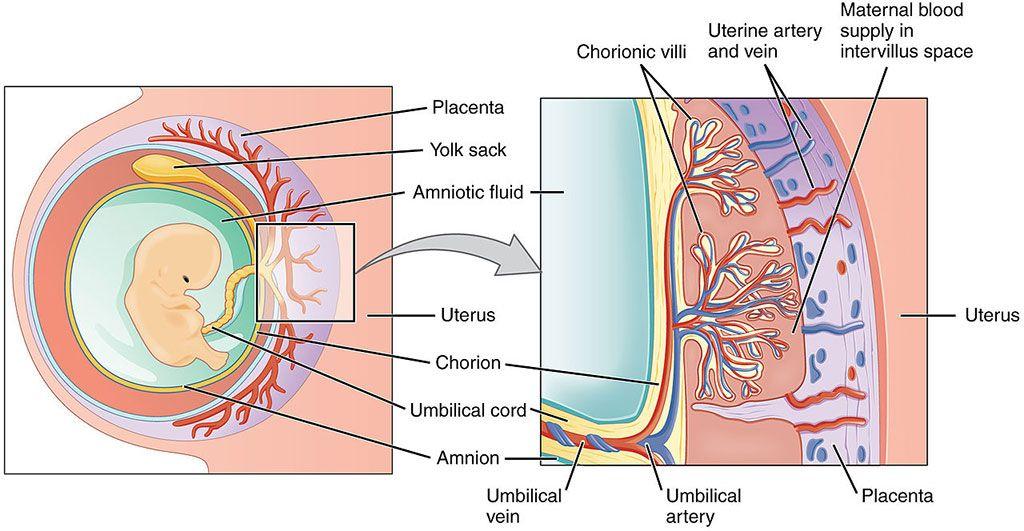 Imagen: Visión esquemática de la placenta (Fotografía cortesía de Wikimedia Commons)