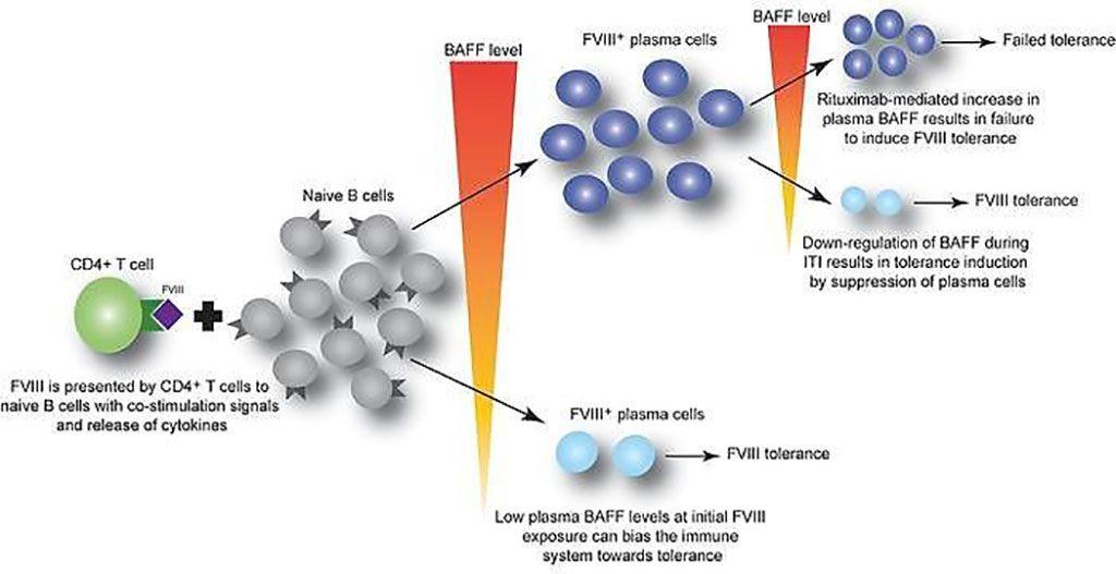 Imagen: El factor activador de células B modula la respuesta inmune del factor VIII en la hemofilia A (Fotografía cortesía del Hospital Infantil de Filadelfia)