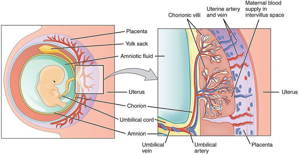 Imagen: Vista esquemática de la placenta (Fotografía cortesía de Wikimedia Commons)