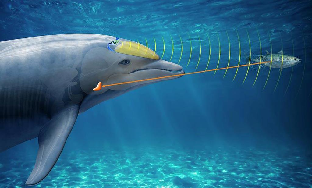 Imagen: La investigación sugiere que las habilidades del sonar de los delfines pueden ayudar a mejorar la tecnología de ultrasonido (Fotografía cortesía de Getty Images).