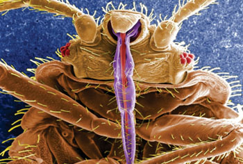 Image: The common bedbug (Cimex lectularius) (Photo courtesy  of the CDC -  US Centers for Disease Control and Prevention).