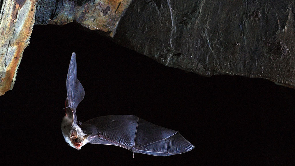 Image: Unique Genomic Basis of Superpowered Immune Systems of Bats Could Hold Key to Beating COVID-19 Pandemic (Photo courtesy of Olivier Farcy)