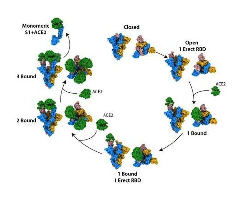Image: The structural states of the SARS-CoV-2 spike protein, binding to the human cell receptor ACE2 (Photo courtesy of The Francis Crick Institute)