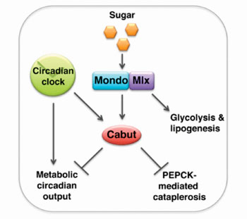 """Caption: Using a Drosophila fruit fly model to study sugar sensing, researchers have discovered that the transcription factor """"cabut"""" (cbt) represses accumulation of several metabolic targets and provides a regulatory link between nutrient sensing and the circadian clock (Photo courtesy of Bartok O, Mari Teesalu, et al. 2015, and EMBO Journal)."""