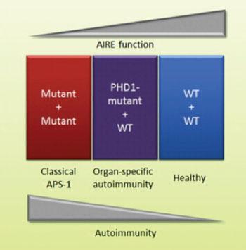 Упрощенное представление функциональных свойств протеина AIRE по сравнению с аутоиммунитетом в зависимости от мутаций в двух аллелях или одной аллели гена AIRE (изображение любезно предоставлено Офтедэль Б.Е.(Oftedal BE) и соавторами, июнь 2015 года, журнал Immunity).