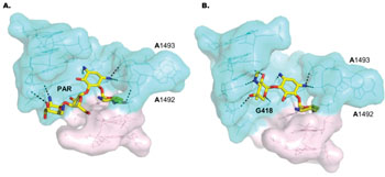 Image: Surface representations of the binding sites of aminoglycosides paromomycin (PAR) (A) and G418 (B) in bacterial and leishmanial ribosomes. Aminoglycosides are in stick representations with mostly yellow highlighting. The coloring in the surface representations corresponds to residue conservation among prokaryotic and eukaryotic systems—residues shown in cyan-blue are highly conserved among all kingdoms while residues in light pink are rather diverse. (Photo courtesy of Shalev M, et al., 2011, and the journal Nucleic Acids Research).
