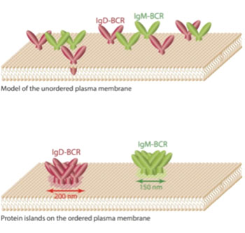 """Image: Researchers previously assumed that receptors such as the antigen receptors of class Immunoglobulin M and Immunoglobulin D are freely diffusing and equally distributed molecules on the membrane. However, the new study shows that these antigen receptors are organized in different membrane compartments, also called \""""protein islands\"""", with diameters of 150–200 nanometers (Photo courtesy of Reth Research Group, BIOSS Centre for Biological Signaling Studies of the University of Freiburg)."""