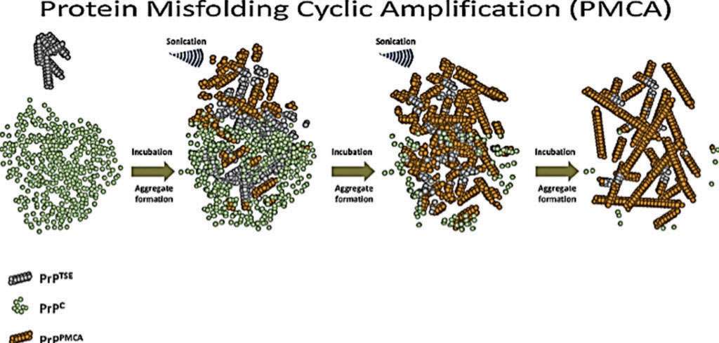 Image: A diagram of protein misfolding cyclic amplification (PMCA) as applied to prions (Photo courtesy of Dr. Paula Saá).