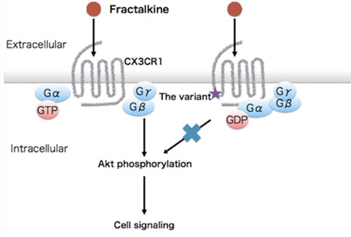Image: The gene variant, with a single amino acid switch from alanine to threonine in the brain-expressed G-protein coupled recepter CX3CR1, causes disruption of Akt signaling (Photo courtesy of Osaka University).
