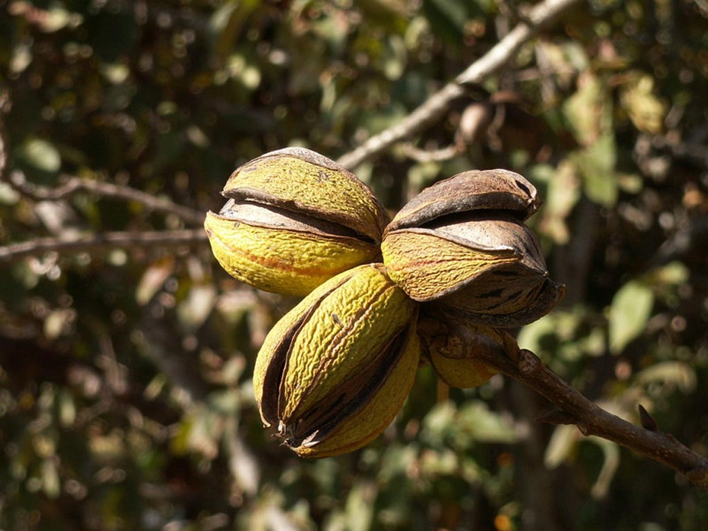 Image: Ripe pecan-nuts photographed on a tree in Hadera, Israel (Photo courtesy of Wikimedia Commons).