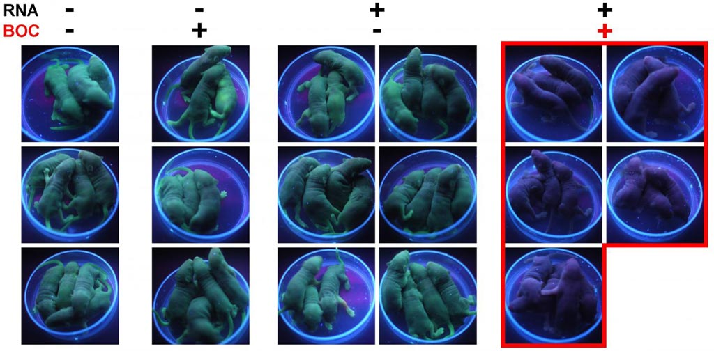 Image: The left-side group of mice is a control - with neither the gene editing RNA, nor the BOC switch. The next group has BOC but no RNA, and the third has the RNA, but no BOC to switch it on. The final group on the right has the gene editing machinery and the BOC switch. BOC activates the switch and the pups are born without green fluorescence (Photo courtesy of Dr. Tony Perry, University of Bath).