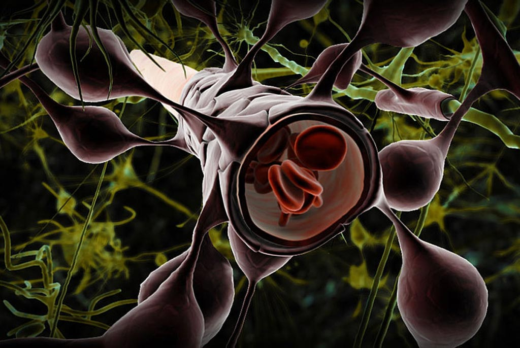 Image: The blood brain barrier and astrocytes type 1: The astrocytes type 1 surrounding capillaries in the brain (Photo courtesy of Shutterstock).