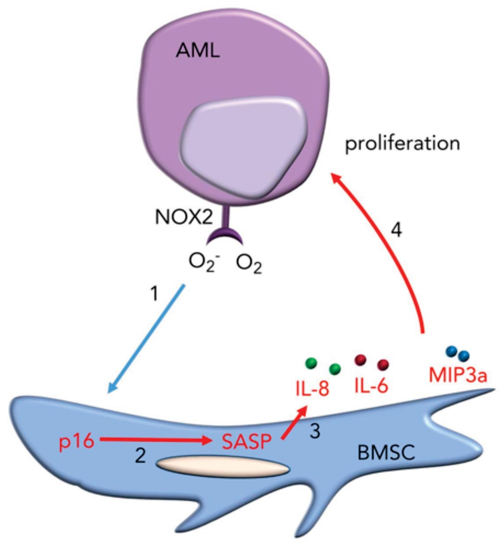 Image: A diagram of how leukemia NOX2 derived superoxide is a driver of pro-tumoral p16INK4a-dependent senescence in bone marrow stromal cells (Photo courtesy of University of East Anglia).