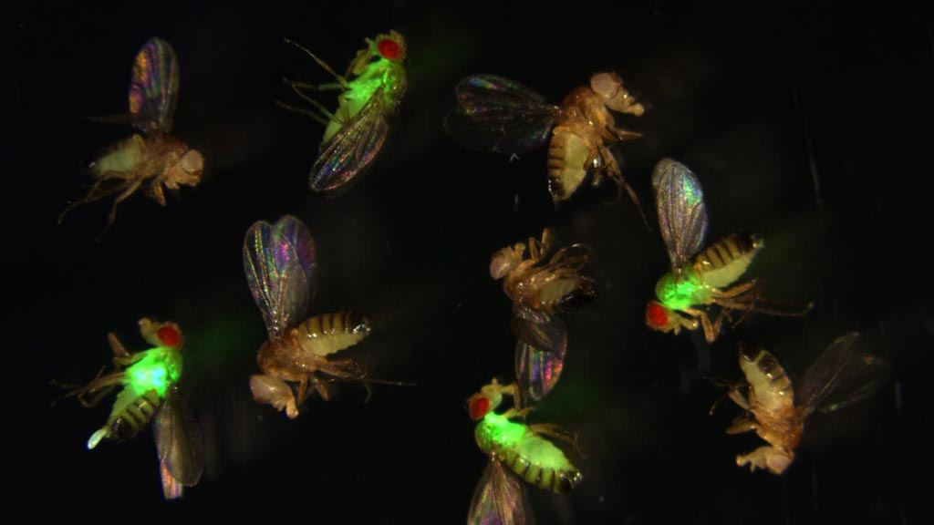 Image: Fruit flies (Drosophila) with mutated antimicrobial peptides (red eyes) let bacteria (green fluorescence) grow out of control, while wild-type flies (with normal antimicrobial peptides) suppress the infection (Photo courtesy of Dr. Mark Austin Hanson, École Polytechnique Fédérale de Lausanne).
